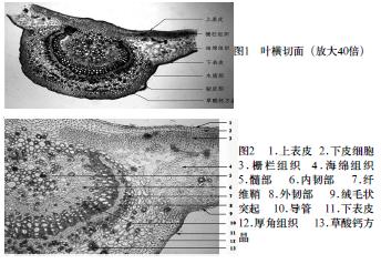 夹竹桃叶横切面结构图